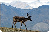 Caribou in front of grand setting